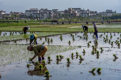 teaser image for Rice Transplanting 插秧 slides